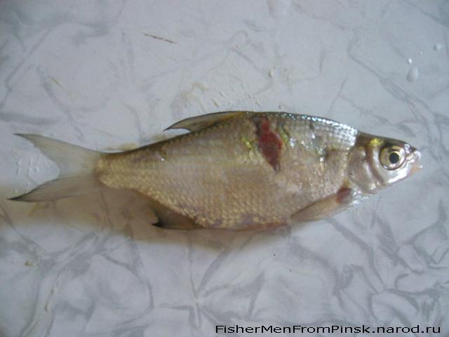 Болезни рыб // Хвороби риб